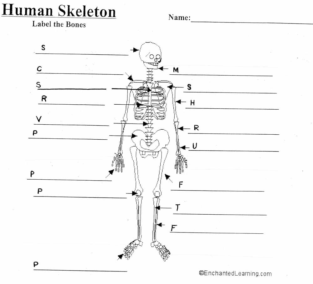 Worksheets Skeletal System Worksheet Answers mrs barragrees 4th grade website blank skeleton diagram