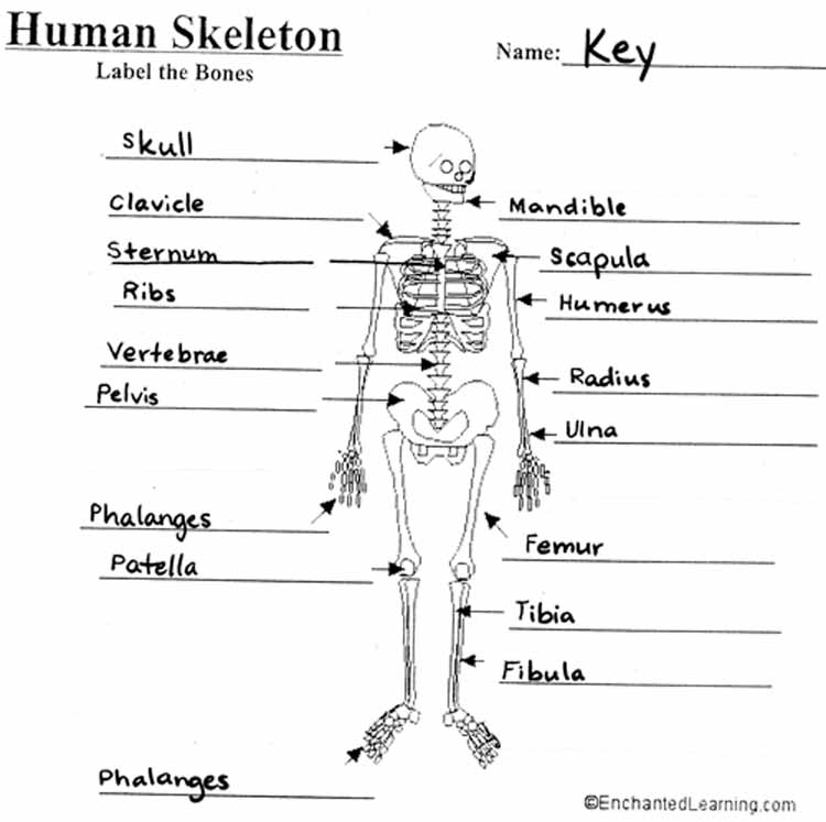 Mrs Barragrees 4th Grade Website – Skeletal System Diagram Worksheet